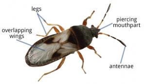 chinch bug anatomy