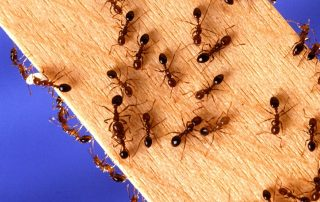 ants_bugyman